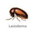 Lasioderma