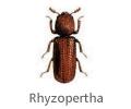 Rhyzopertha