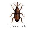 Sitophilus
