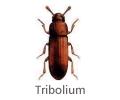 Tribolium